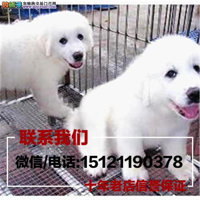 郑州市犬舍直销纯种血统大白熊疫苗驱虫齐全 限时优惠