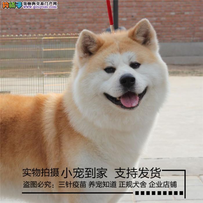 犬舍直销 高品质纯种赛级秋田犬 疫苗驱虫已做 包健康