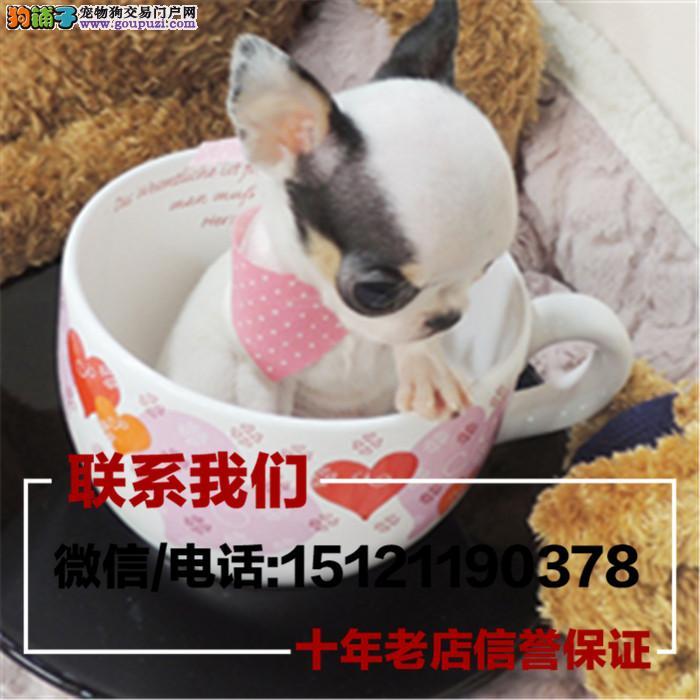 高品质 超小体 纯种墨西哥苹果头茶杯体吉娃娃幼犬