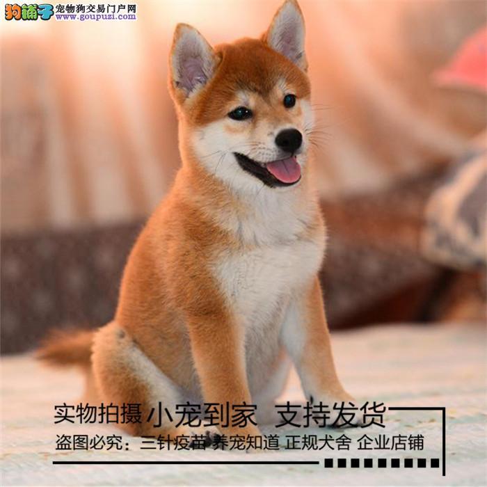 纯种柴犬,保纯保健康,CKU认证血统,质量三包