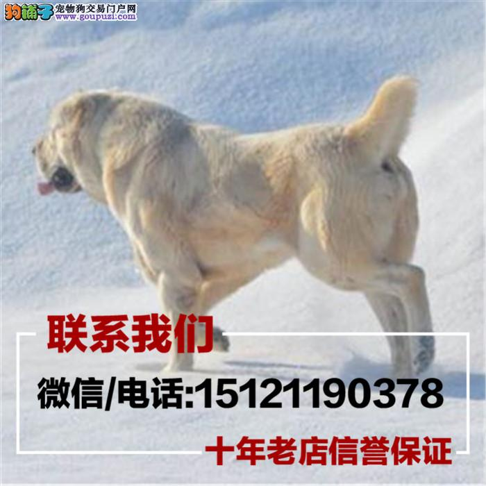 家养繁殖出售中亚牧羊犬带证书 疫苗齐全 包健康