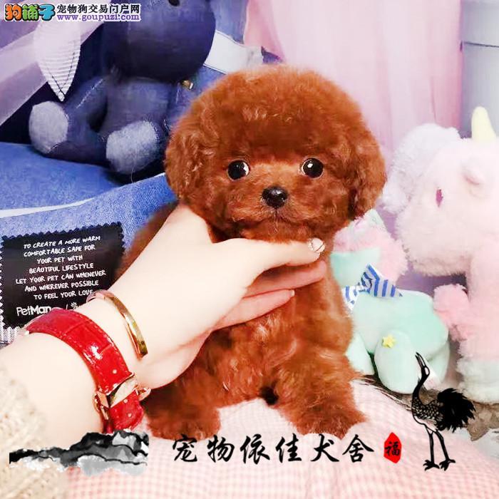 茶杯微小玩具泰迪犬 会上厕所已驯养 疫苗齐全带证书