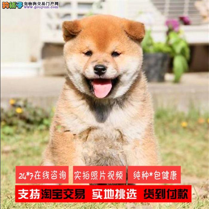 正规犬舍出售健康纯种柴犬 聪明忠诚 品相一流在线咨询