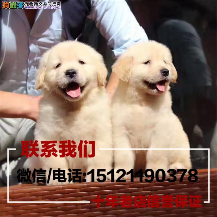 家养繁殖出售伯恩山 金毛幼犬 疫苗齐全带血统