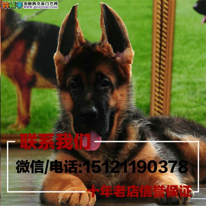 家养繁殖狼狗 黑背 德国牧羊犬 以训练带证书