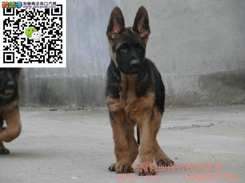 珠海德国牧羊犬出售珠海哪卖德牧价格多少钱
