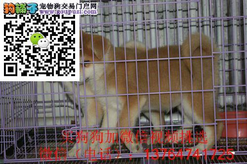 珠海秋田犬出售珠海纯正秋田多少钱价格