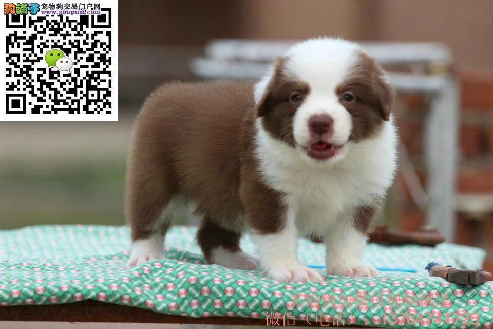 珠海边境牧羊犬出售珠海哪卖边牧价格多少钱