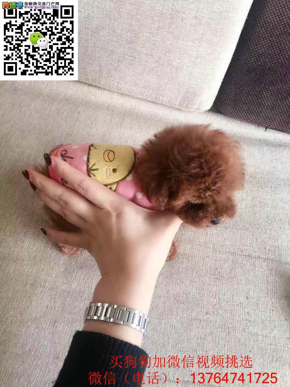 珠海贵宾犬出售珠海哪卖贵宾犬保证健康纯正