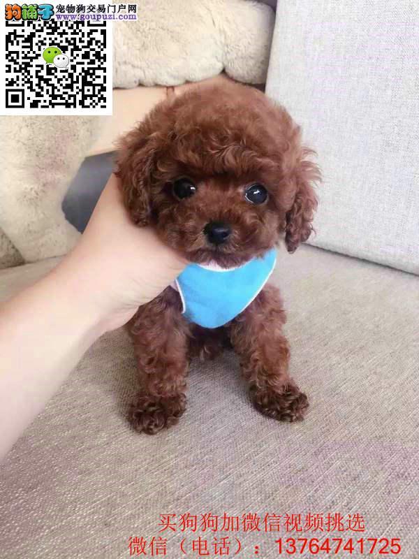 珠海泰迪犬价格出售 珠海泰迪幼犬多少钱