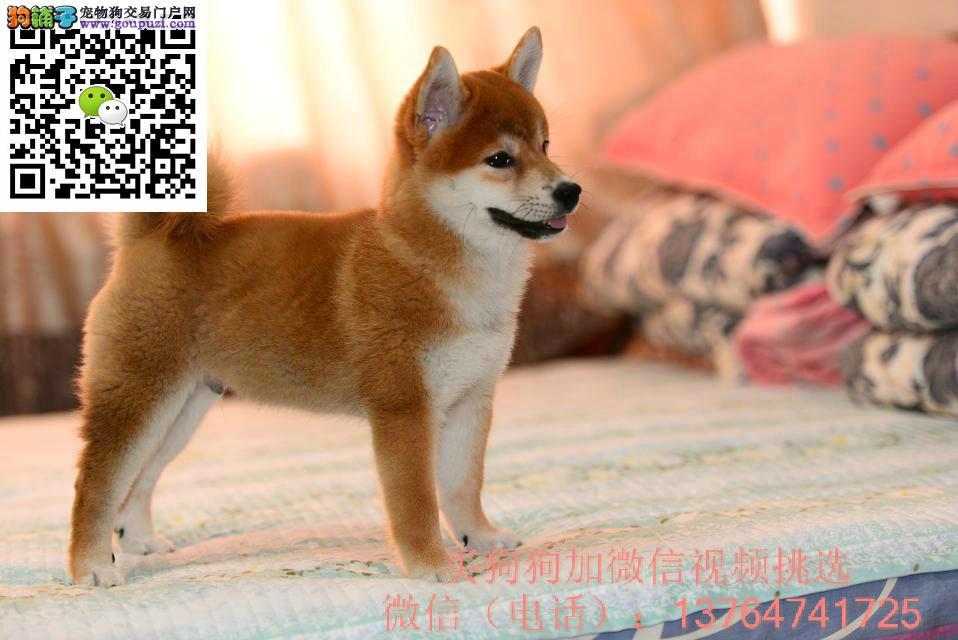 珠海柴犬出售价格珠海纯正柴犬多少钱一只