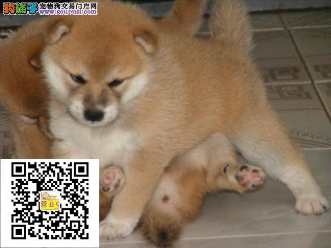 佳木斯柴犬出售价格佳木斯纯正柴犬多少钱一只