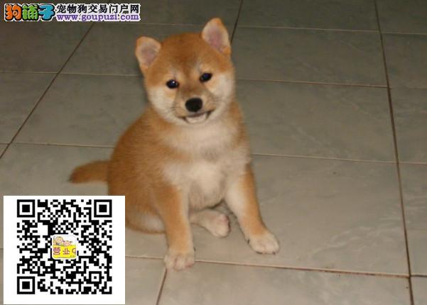 大连柴犬出售价格大连纯正柴犬多少钱一只