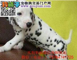 合肥斑点狗价格出售合肥哪卖斑点狗犬多少钱