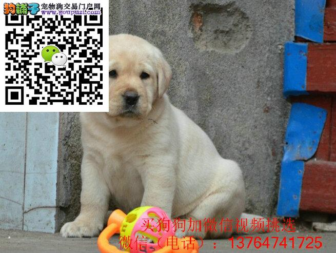 合肥拉布拉多犬出售合肥拉布拉多价格多少钱一只