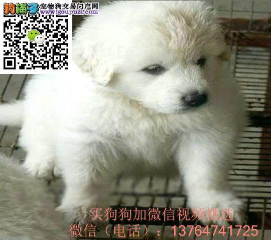 合肥大白熊出售价格合肥纯正大白熊多少钱一只