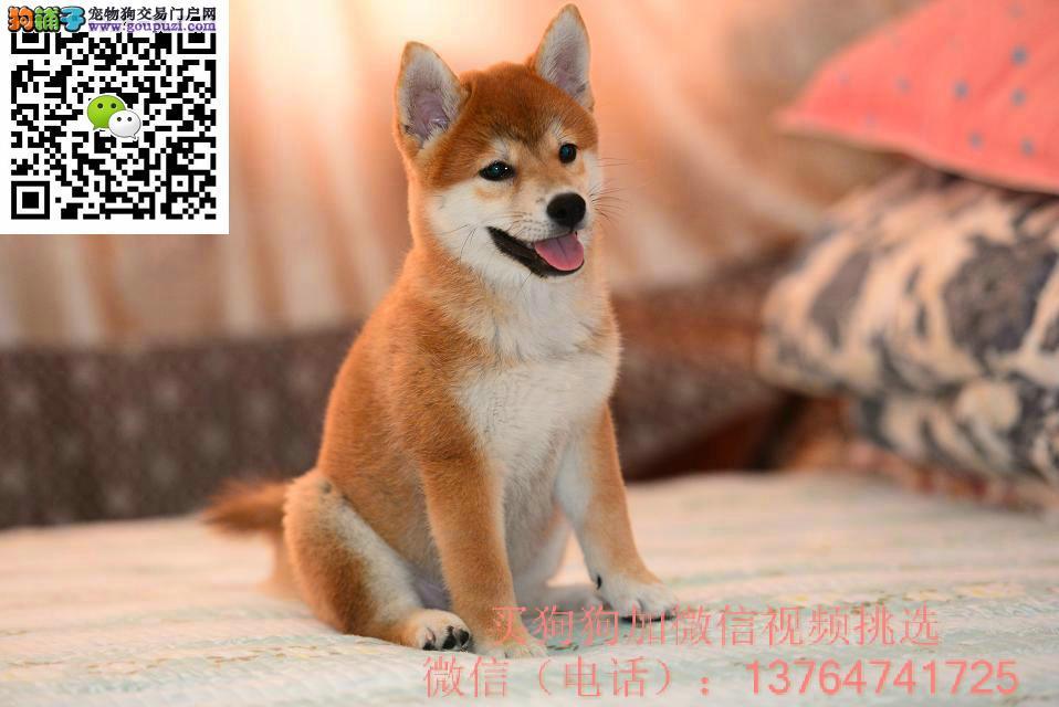 合肥柴犬出售价格合肥纯正柴犬多少钱一只