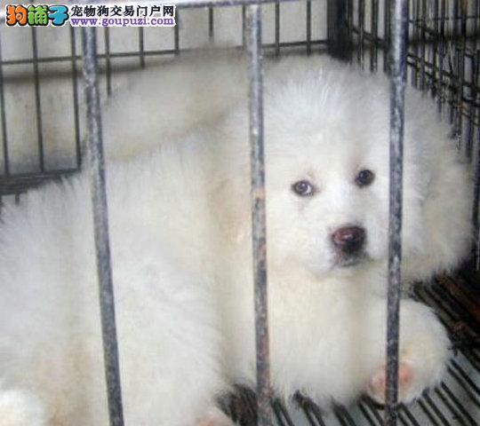 犬舍繁殖纯种大白熊,大骨架大脚掌无泪痕.疫苗齐全