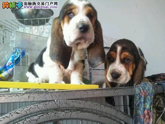 聪明可爱的狗狗 巴吉度猎犬 公母齐全 专业繁殖