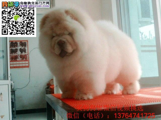 广州松狮犬怎么卖的 广州哪里有卖松狮犬