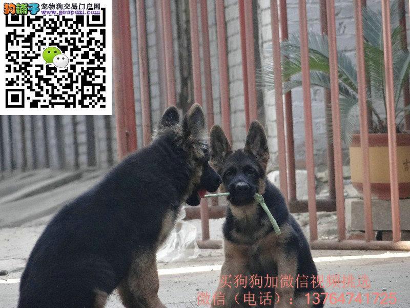 广州德国牧羊犬出售广州哪卖德牧价格多少钱