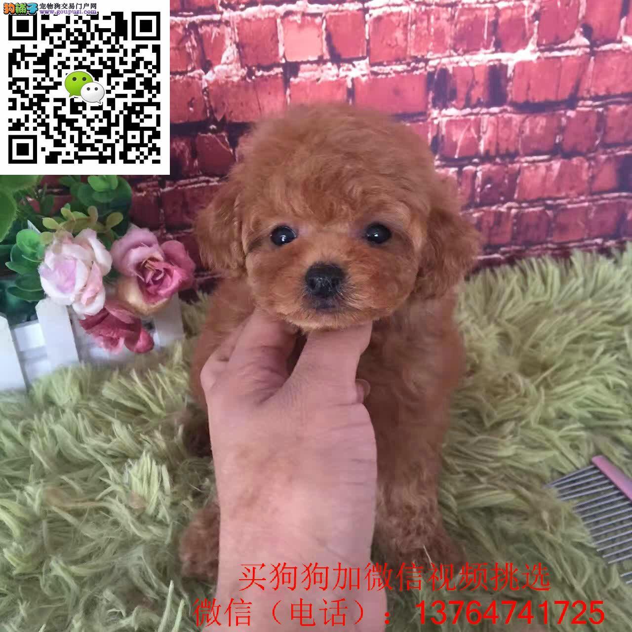 广州泰迪犬价格出售 广州泰迪幼犬多少钱