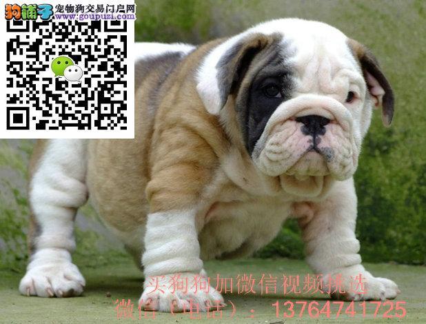 广州英国斗牛犬价格多少钱一只广州英牛出售