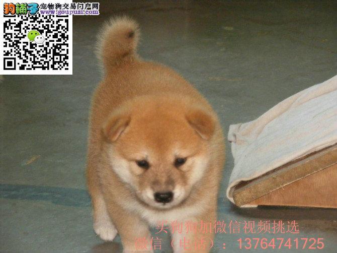贵阳柴犬出售价格贵阳纯正柴犬多少钱一只