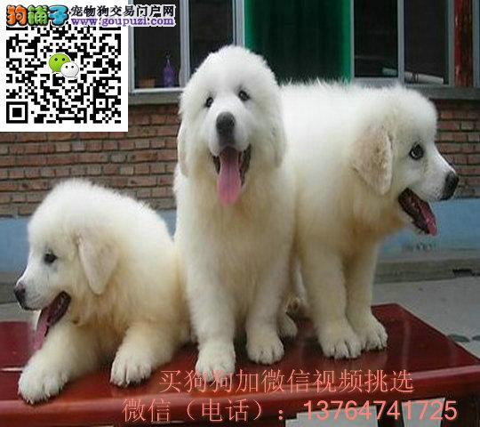 贵阳大白熊出售价格贵阳纯正大白熊多少钱一只