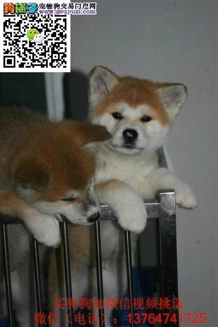 贵阳秋田犬出售贵阳纯正秋田多少钱价格