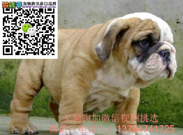 深圳英国斗牛犬价格多少钱一只深圳英牛出售