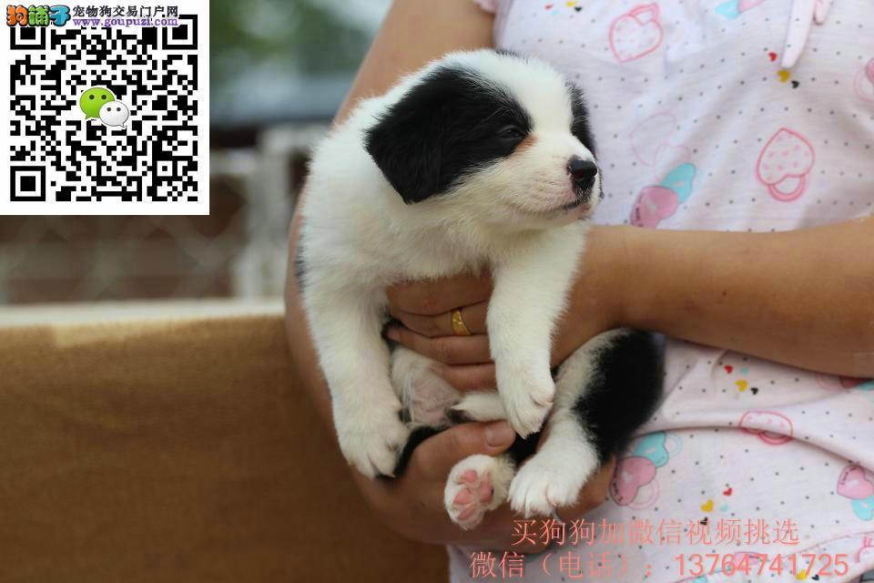 深圳边境牧羊犬出售深圳哪卖边牧价格多少钱