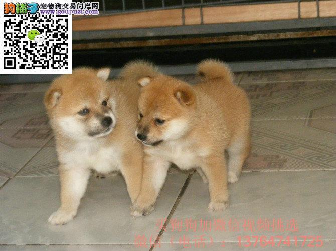 深圳柴犬出售价格深圳纯正柴犬多少钱一只
