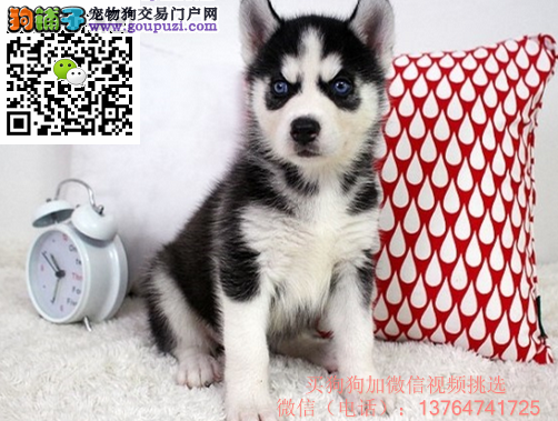 深圳哈士奇犬出售眼睛哪卖哈士奇深圳哈士奇价格