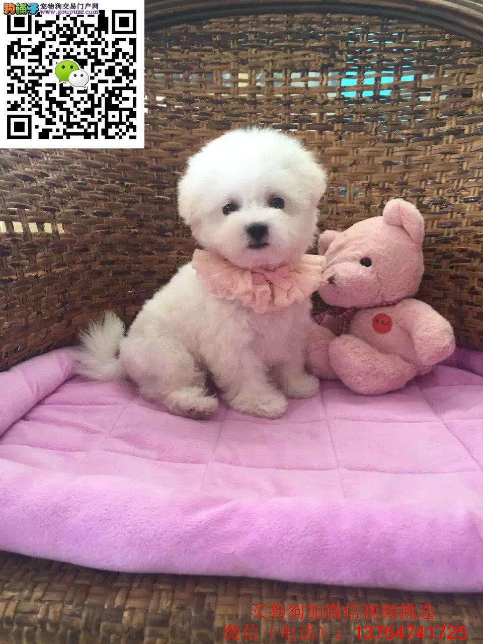 深圳比熊出售价格深圳哪卖比熊多少钱一只