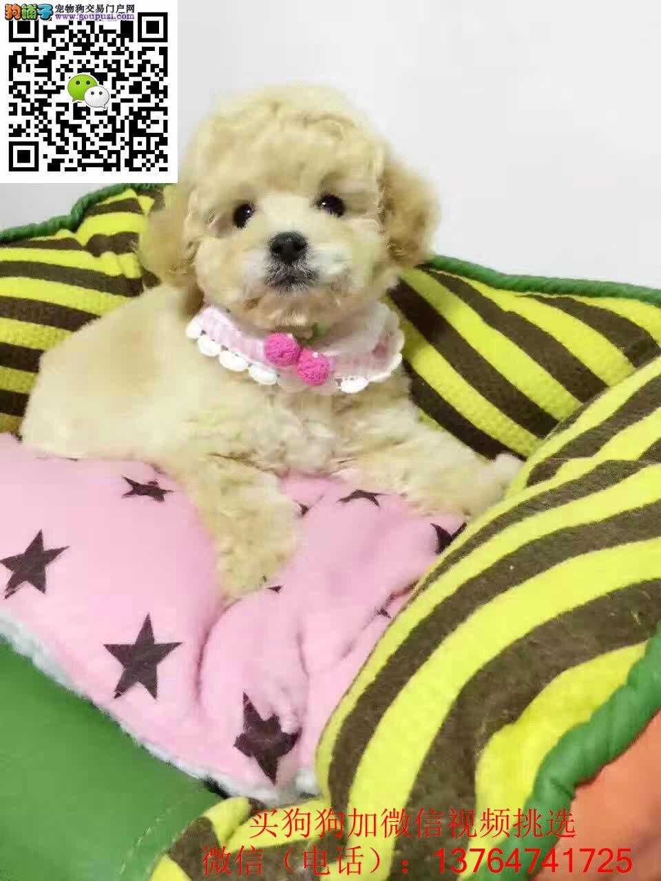 深圳贵宾犬出售深圳哪卖贵宾犬保证健康纯正