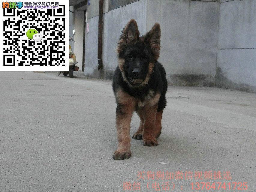 深圳德国牧羊犬出售深圳哪卖德牧价格多少钱
