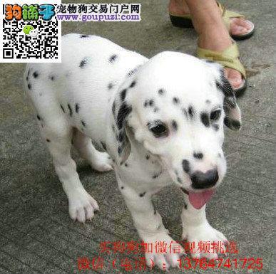 厦门斑点狗价格出售厦门哪卖斑点狗犬多少钱