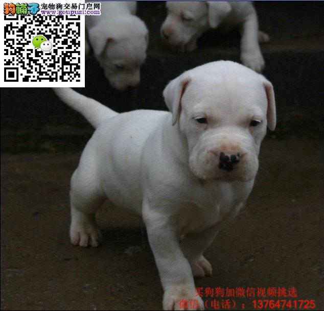 厦门杜高犬价格出售厦门哪卖杜高多少钱