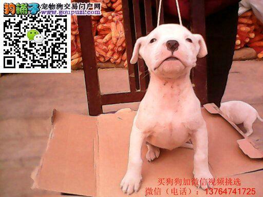 福州杜高犬价格出售福州哪卖杜高多少钱