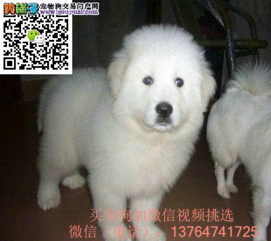 福州大白熊出售价格福州纯正大白熊多少钱一只