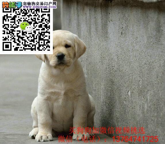 福州拉布拉多犬出售福州拉布拉多价格多少钱一只