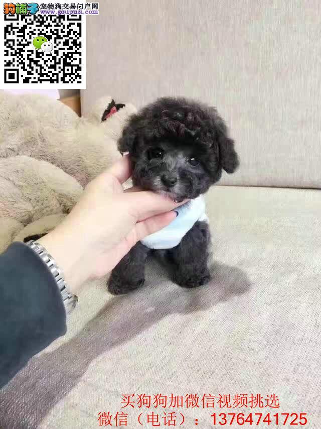福州泰迪犬价格出售 福州泰迪幼犬多少钱