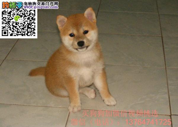 福州柴犬出售价格福州纯正柴犬多少钱一只
