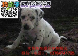 福州斑点狗价格出售福州哪卖斑点狗犬多少钱