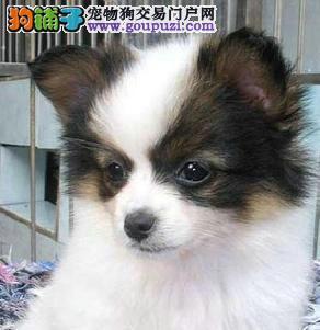 犬舍直销品种纯正健康蝴蝶犬包养活送用品
