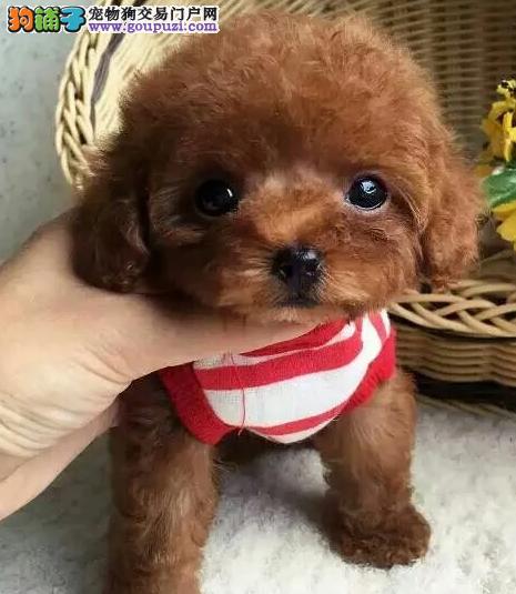 纯种泰迪幼犬出售 犬舍直销包纯种签协议
