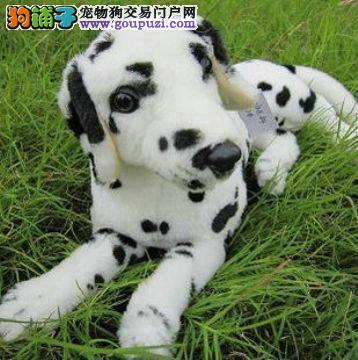 纯种斑点幼犬正规犬舍专业繁殖 疫苗齐
