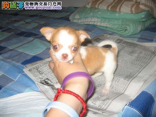 纯种吉娃娃幼犬正规犬舍专业繁殖 疫苗齐