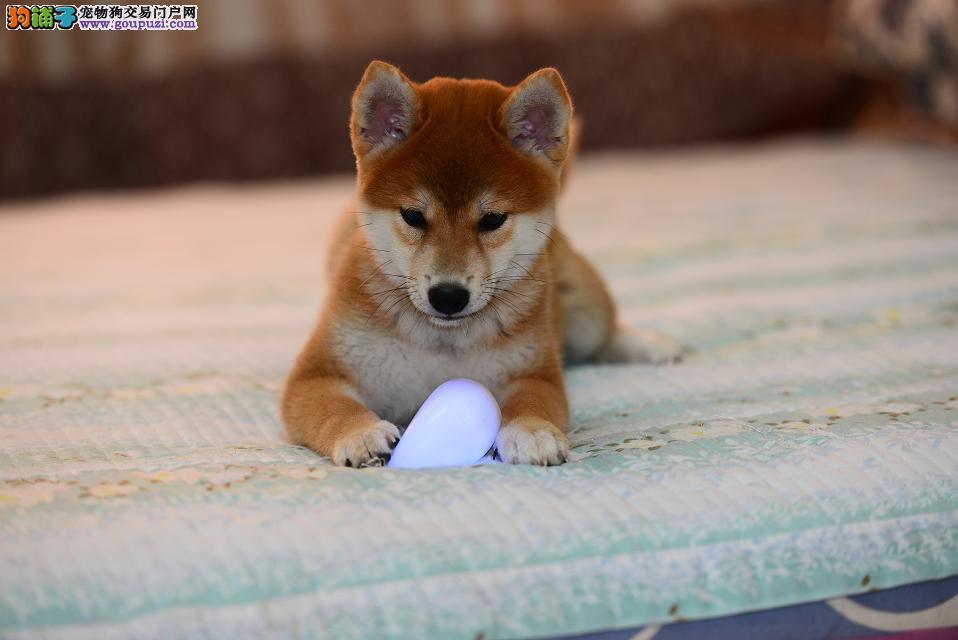纯种柴犬幼犬正规犬舍专业繁殖 疫苗齐